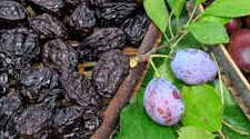 Nutritional Benfits of Prunes